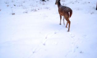 deer01s
