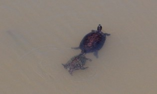 Turtles. Labadieville.