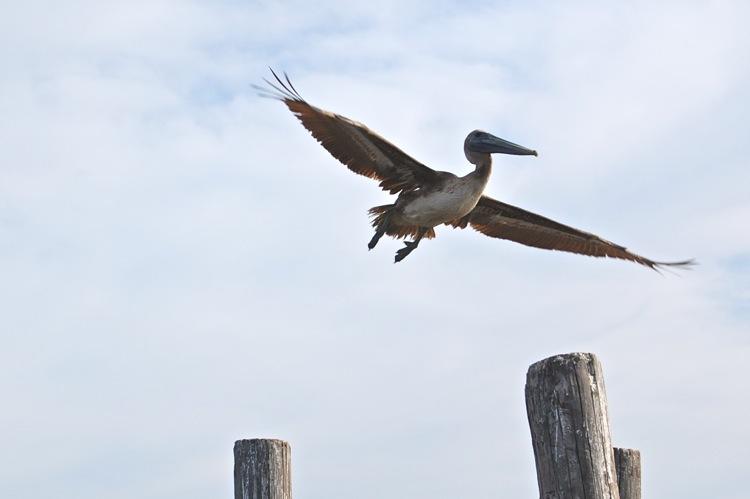 Pelican. Leeville, LA.