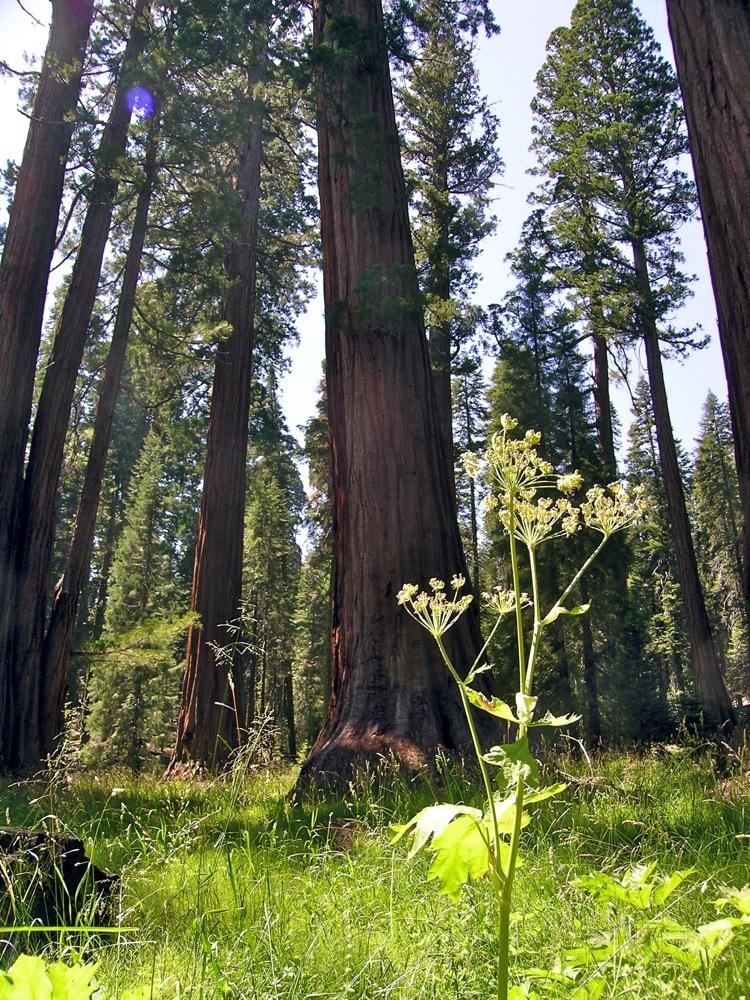 Sequoia_2006_25